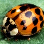 asian_lady_beetle