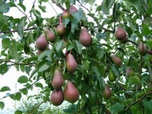 Pear Fruit Tree