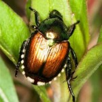japanese-beetle-on-leaf