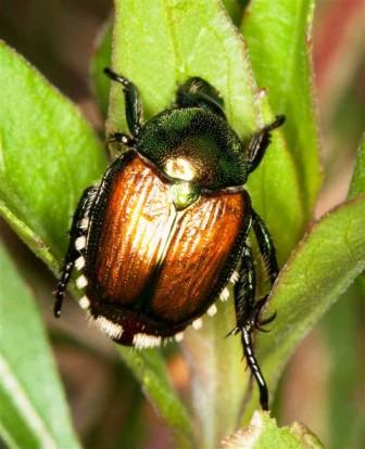 japanese-beetle-on-leaf