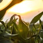 corn_sun setting_opt