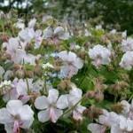 HOG White Geranium