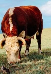 bull-940209_640_opt