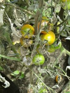 tomato-608290_640