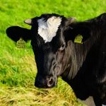 cow-1494599_640_opt