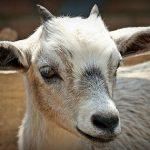 goat-1438231_640_opt