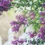 Picture of lilacs